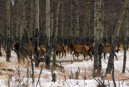 Wapiti Woods - A herd of elk in Rocky Mountain National Park Stock Photo