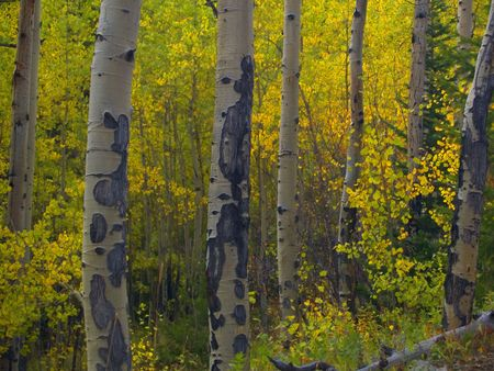 Aspen Row - Rocky Mountain National Park Stock Photo