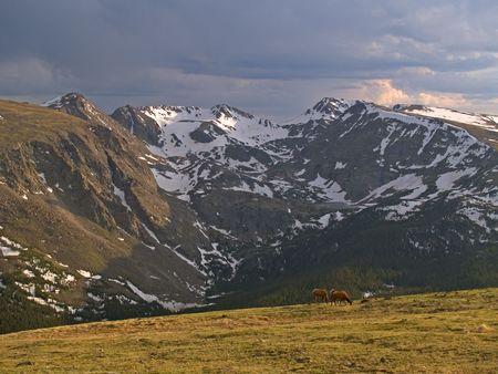 Alpine Pastoral - Elk in Rocky Mountain National Park