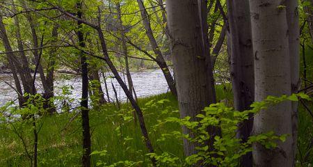 Poudre の川のアスペンの春 写真素材