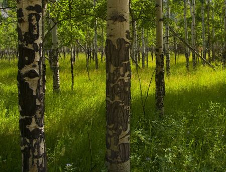 Sun in Aspen Grove - Rocky Mountain National Park Stock Photo - 2680923