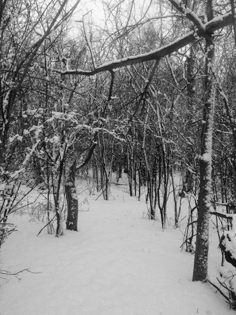 Path Into Winter Trees - A  shelter belt after a fresh snow.