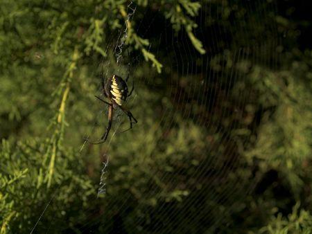 Tuin en Spider Morsel in een heg in de zomer.