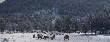 wapiti: North American Elk (wapiti) grazing in a winter forest in Colorados Rocky Mountains. Stock Photo