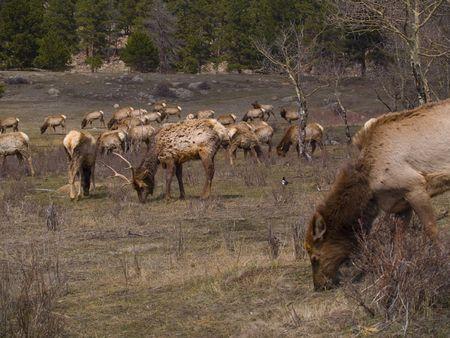 wapiti: Herd of North American elk (wapiti) grazing on a meadow in early Spring in Rocky Mountain National P Stock Photo