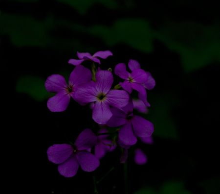 north woods: Purple wildflowers in the dark forest of the North woods of Minnesota.