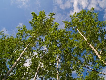 north woods: Green birch trees reaching into a blue sky in the North Woods of Minnesota.
