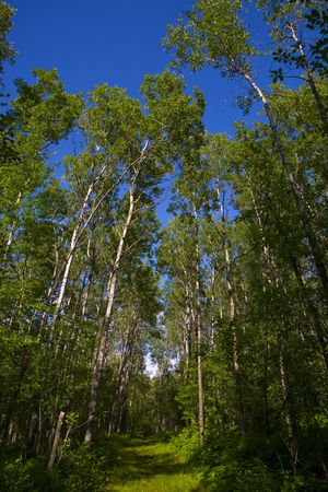 north woods: Green forest below a deep blue sky in the North Woods of Minnesota,