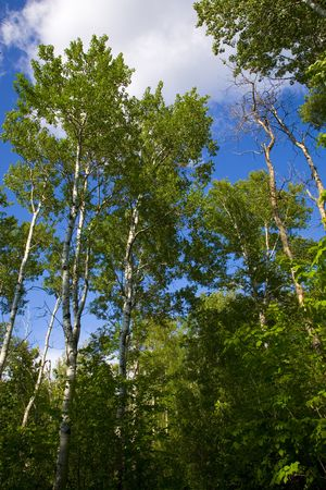 north woods: Green trees rise from the forest into a cloudy sky in the north woods of minnesota,