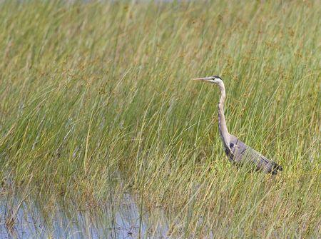 margen: Una gran garza azul en las ca�as de un lago margen. Foto de archivo