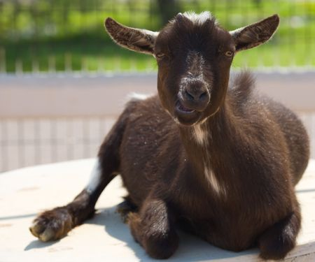 A goat chewing during his portrait on a summer afternoon.