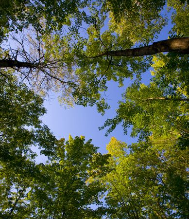 north woods: August canopy on an evening in the North Woods of Minnesota.