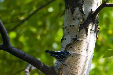 north woods: A black and white warbler on a birch tree in the north woods of Minnesota. Stock Photo