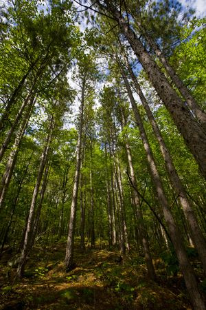 north woods: Tall deep green forest in the North Woods of Minnesota Stock Photo