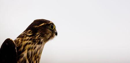 mago merlin: Merlin Falcon (Falco columbarius - tambi�n conocida como la paloma halc�n) mientras que el retrato tomado el p�jaro se est� preparando para su liberaci�n en una estaci�n de anillamiento.  Foto de archivo