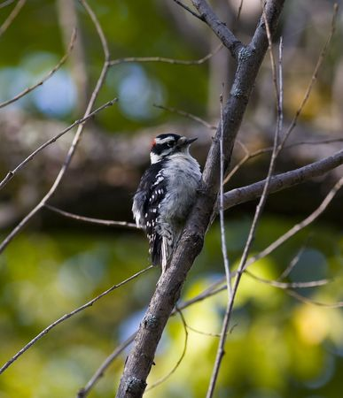 north woods: Young Downy Woodpecker in the north woods of Minnesota Stock Photo