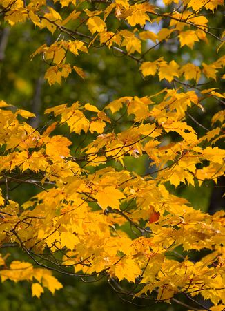 yellows: September Yellows on Green in the North Woods of Minnesota