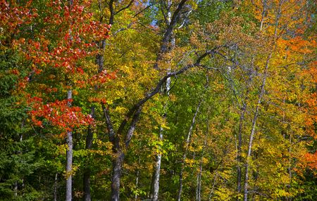 north woods: Edge of a stand of trees in a September forest in the North Woods of Minnesota
