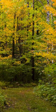 north woods: A golden September path in the North woods of Minnesota.