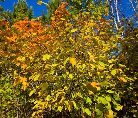 north woods: October exploding onto the scene of the North Woods of Minnesota Stock Photo