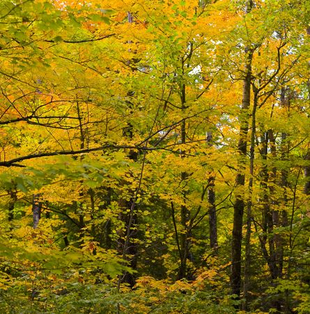 north woods: Wall of September trees in the North woods of Minnesota Stock Photo