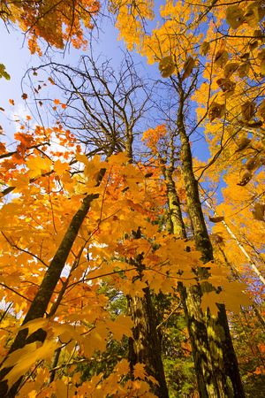 north woods: October gold maple and birch tree reaching to the sky in the north woods of Minnesota. Stock Photo