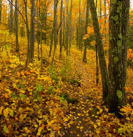 north woods: The deep golden north woods of Minnesota in October