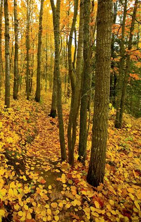 north woods: Golden trail through the North Woods of Minnesota in October