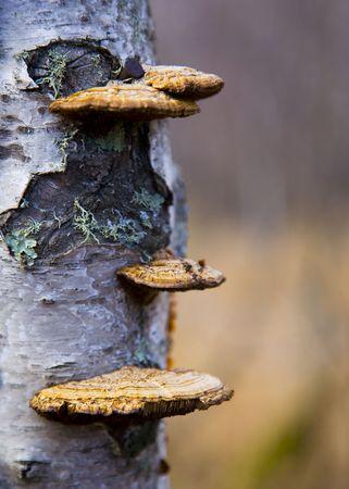 白樺ツリー菌ときのこ形成の詳細にクローズ アップ画像 写真素材