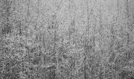 the thicket: Winter thicket forming an abstract background after fresh snow