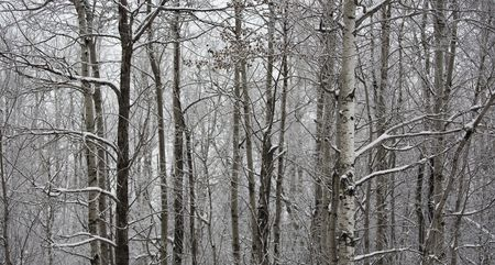 north woods: North woods of Minnesota under fresh snow in an abstract background detail