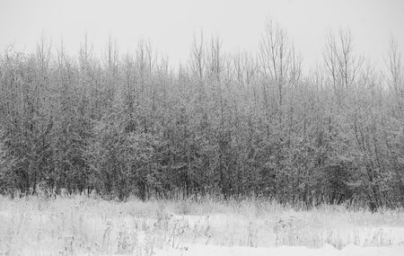 thickets: North woods of Minnesota winter texture at the edge of a dense forest