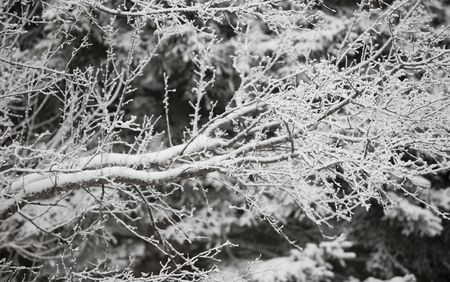 north woods: Fresh snow on branches in the north woods of Minnesota