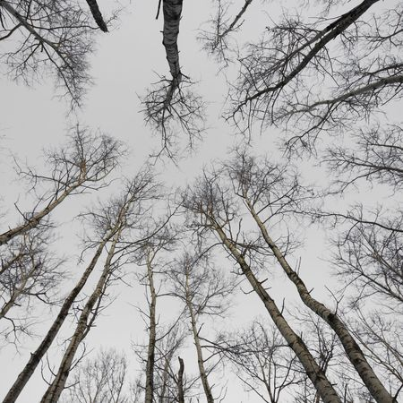 December canopy in the north woods of Minnesota