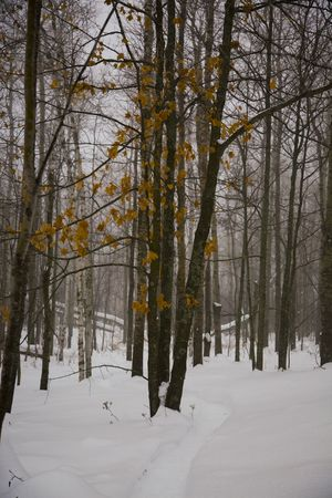 north woods: Golden leaves after a december snow storms in the North woods of Minnesota Stock Photo
