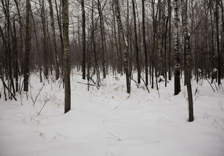 north woods: Snow storm in the North woods of Minnesota