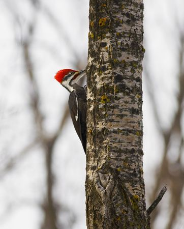 Pileated Woodpecker ( dryocopus pileatus ) creeping up at tree in the North  Woods of Minnesota.  The largest woodpecker in North America and the basis for the