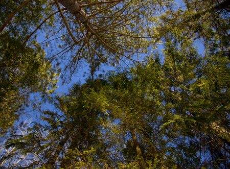 north woods: Evergreen canopy under blue sky in the North Woods of Minnesota