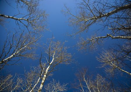north woods: Winter birch tree canopy into a deep blue sky in the north woods of Minnesota