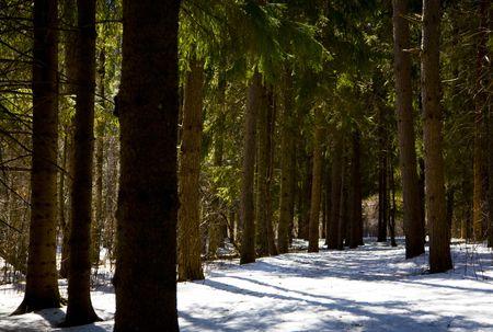 Deep Woods in Winter Northern Minnesota