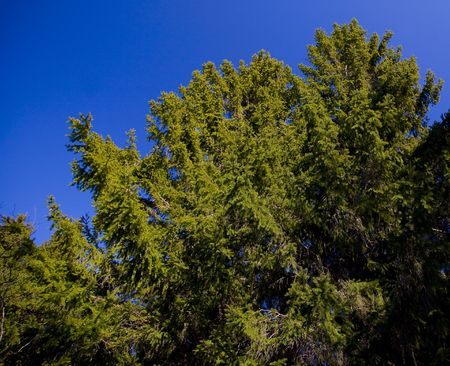 north woods: Evergreens Reaching into  Blue Sky in the North Woods of Minnesota