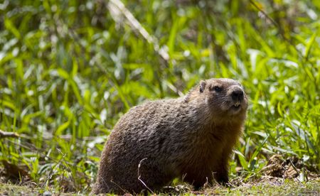A groundhog - marmota monax -  in the green grass of Spring Imagens
