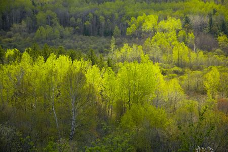 Sun on the spring forest of the north woods of Minnesota
