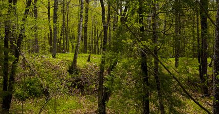 Deep in the spring time forest of the North woods of Minnesota