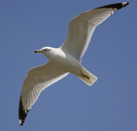 Ring billed gull watching from above