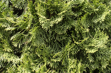 arborvitae: Background. Arborvitae branches. Close-up.