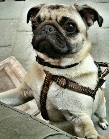 closeup: Funny pug dog close-up.