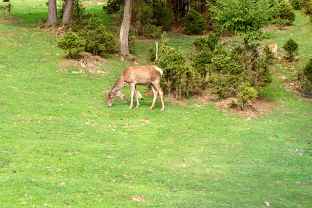 Deer (Dama dama) is grazing on the clearing or on th the lawn in the forest. On summer sunny day. Close-up.