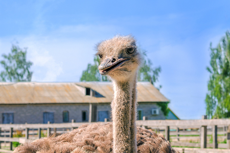 Domesticated wild african ostrich (struthio camelus) in an aviary on a ostrich farm. Wild ostriches on a bird farm. Outdoors.