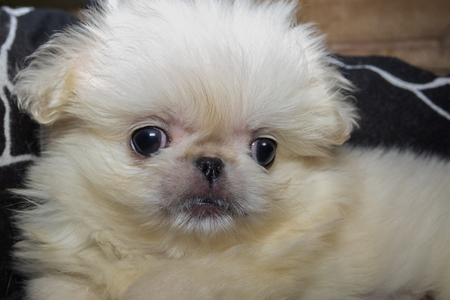 Portrait of a puppy of a Chinese dog breed - white Pekingese. Close-up.